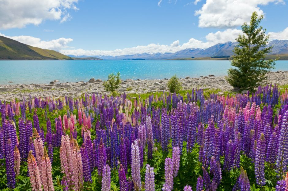 Field of lupin wildflowers on the shore of lake Tekapo in New Zealand